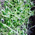 DCMブランド 栽培セットを使って「ブロッコリースプラウト」と「ラディッシュ」を育ててみました💕DCMブランド 栽培セットは、水や肥料に必要なペットボトル以外はすべて揃っているので、気軽に野菜…のInstagram画像