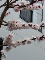 桜の季節が近づきます!の画像(2枚目)