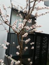 桜の季節が近づきます!の画像(1枚目)