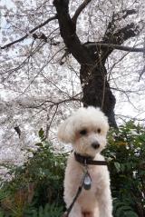 桜と息子の犬アレルギーの画像(2枚目)