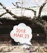 桜と息子の犬アレルギーの画像(4枚目)