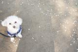 桜と息子の犬アレルギーの画像(3枚目)