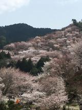 「吉野千本桜」の画像(1枚目)