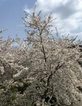 「吉野千本桜」の画像(2枚目)