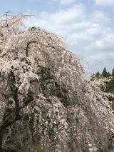 「吉野千本桜」の画像(4枚目)