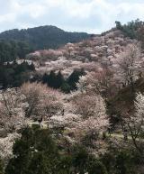「吉野千本桜」の画像(9枚目)