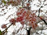 花より団子 満開の桜と桜餅の画像(1枚目)