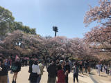 Cherry-blossom viewing♡の画像(2枚目)