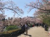 Cherry-blossom viewing♡の画像(3枚目)