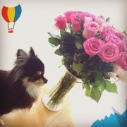 「愛犬のチワワ 2匹」ペット用サプリ【免疫ミルク】の本商品モニター募集!の投稿画像