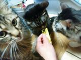 健康長寿猫をめざして、「ネコジーン」の画像(3枚目)