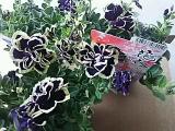 ペチュニア花衣・黒真珠の画像(2枚目)
