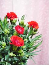 増えるカーネーションの花の画像(1枚目)