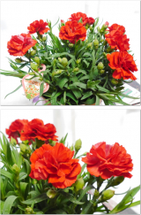 増えるカーネーションの花の画像(7枚目)