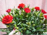 増えるカーネーションの花の画像(2枚目)