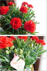 増えるカーネーションの花の画像(5枚目)