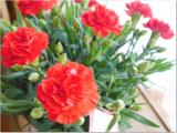 増えるカーネーションの花の画像(4枚目)