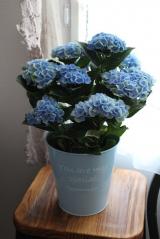 ★★★ アンティーク色が楽しみ!紫陽花が届きました♪ ★★★の画像(1枚目)