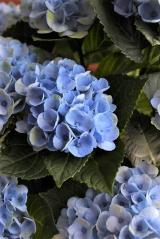 ★★★ アンティーク色が楽しみ!紫陽花が届きました♪ ★★★の画像(8枚目)