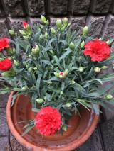 saxia(サクシア)のカーネーションの植物長持ち体験中 2の画像(2枚目)