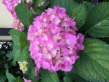 紫陽花、咲いていますの画像(1枚目)