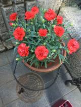 saxia(サクシア)のカーネーションの植物長持ち体験中 2の画像(3枚目)