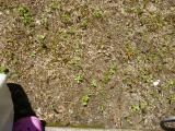 除草剤「ラウンドアップ」を試してみましたの画像(3枚目)