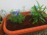鉢に植え替えました