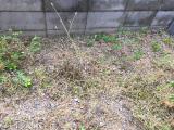 4歳長女っ子&手離し立っち&雑草と戦うの画像(10枚目)