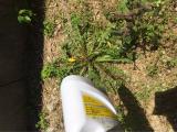 4歳長女っ子&手離し立っち&雑草と戦うの画像(7枚目)