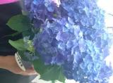 ★『紫陽花 ディープパープル』と植物を長持ちさせる特殊パッケージ『saxia (サクシア)』の感想(その2)の画像(1枚目)