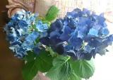 ★『紫陽花 ディープパープル』と植物を長持ちさせる特殊パッケージ『saxia (サクシア)』の感想(その2)の画像(3枚目)