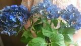 ★『紫陽花 ディープパープル』と植物を長持ちさせる特殊パッケージ『saxia (サクシア)』の感想(その2)の画像(2枚目)