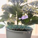 【育ててます(一ヵ月経過レポ)】アジサイ マジカルレボリューション ブルー+saxiaセットの画像(4枚目)
