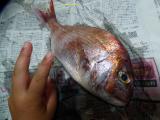 「【宿泊合宿】長男帰る!地引網漁でゲットした魚とは??」の画像(3枚目)