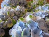 """【モニター】""""アジサイ マジカルレボリューション ブルー""""saxia植物体験モニター1ヶ月後の画像(7枚目)"""