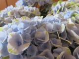 """【モニター】""""アジサイ マジカルレボリューション ブルー""""saxia植物体験モニター1ヶ月後の画像(6枚目)"""