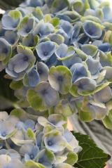 ★★★ 雨が似合う紫陽花♪一か月経った様子 ★★★の画像(2枚目)