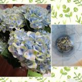 saxia植物長持ちモニター 中♥の画像(1枚目)
