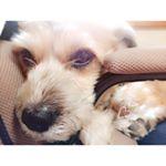 実家の愛犬だいくんにDHCから発売のおやつをプレゼント❤️もう10歳で健康が気になるから、こんなおやつがあるっていいね(o´艸`)DHCにペット用品があるなんて驚き🐥💕#dhc #dhcp…のInstagram画像