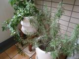 オリーブの挿し木の画像(1枚目)