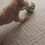 不思議な音がするよ ちょっとビビる💦  重さがあるからなかなか動かせない 慣れたら楽しい遊びになると思う 動かないせかすぐ飽きちゃう 若干音が大きい 犬のおもちゃ体験記🎾 #犬 #ギグルボール #犬お…のInstagram画像