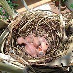 鳥の巣しばらく読谷帰りたくない。笑鳩のせいで鳥が苦手。神戸で襲撃懐かしいなー、めーぐー!Chick is weeping in nest on the tree.I wis…のInstagram画像