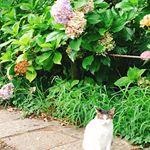 ベースレッスン後に、リフレッシュのため森林公園をお散歩🌳ニャンコに出会いました🐈終わりかけの紫陽花の前でポーズありがとう🐱❤️*まだ生き生きとした紫陽花もいたので、+eaisのInst…のInstagram画像