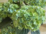 緑鮮やかなあじさいの画像(3枚目)