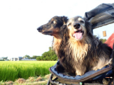 HOTな柴犬アイマスク☆の画像(12枚目)