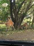 避難先にいた鹿