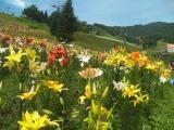 岐阜にあるゆり園での写真です。