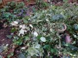 花壇の掃除・ヤーコンのお花の画像(1枚目)