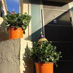 ハロウィンマムシリーズ2品種セットを、頂きました🤲今日なんて #秋日和 やからぐんぐん育ってくれますように🎃#ハロウィンマム #monipla #hakusan_fan ・ゴールデ…のInstagram画像